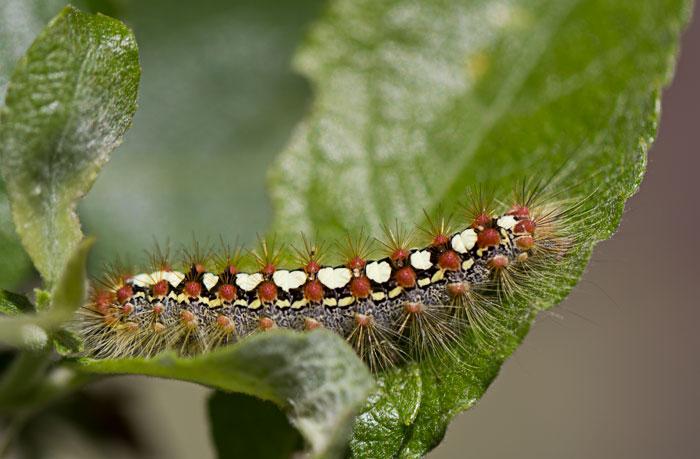 Poplar-Satin-Moth-Caterpillar