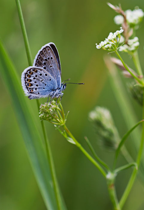 Silver-Studded-Blue