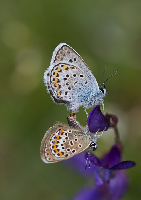 Silver-Studded-Blues-mating