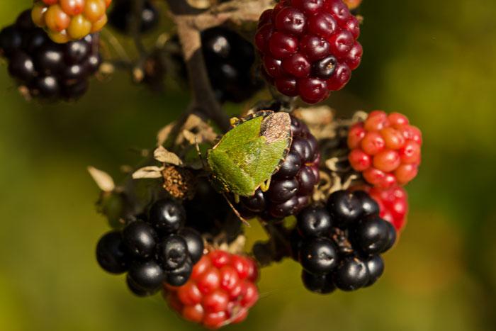 Common-Green-Shieldbug-(Palomena-prasina)