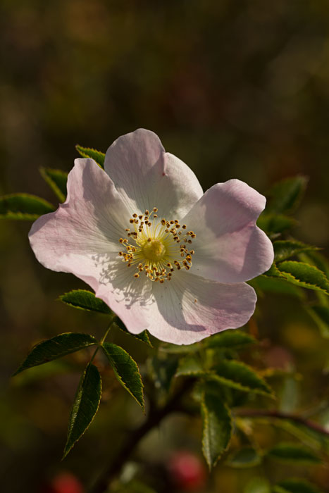 Dog-Rose-(Rosa-canina)