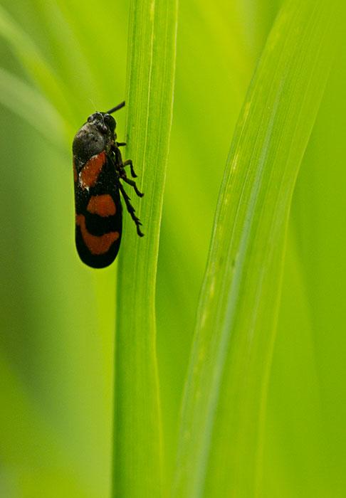 Red-&-Black-Leafhopper-(Ceropsis-vulnerata)