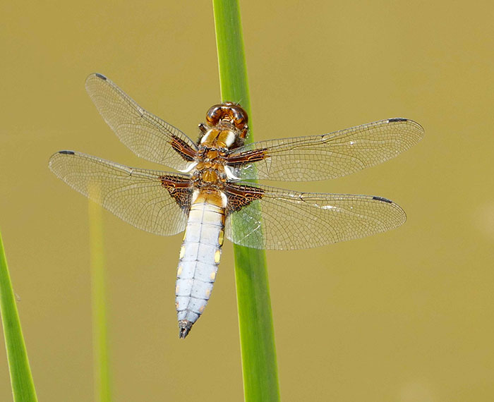 dragonfly-broad-bodied-chaser-male-(6).jpgfs