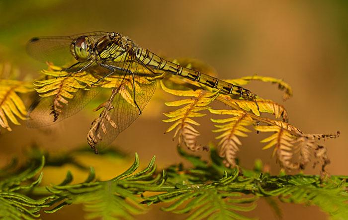 female-common-darter