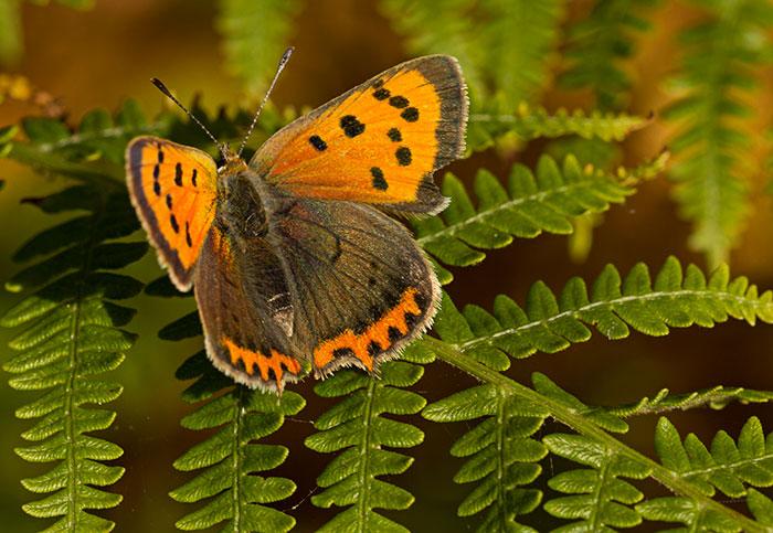 small-copper
