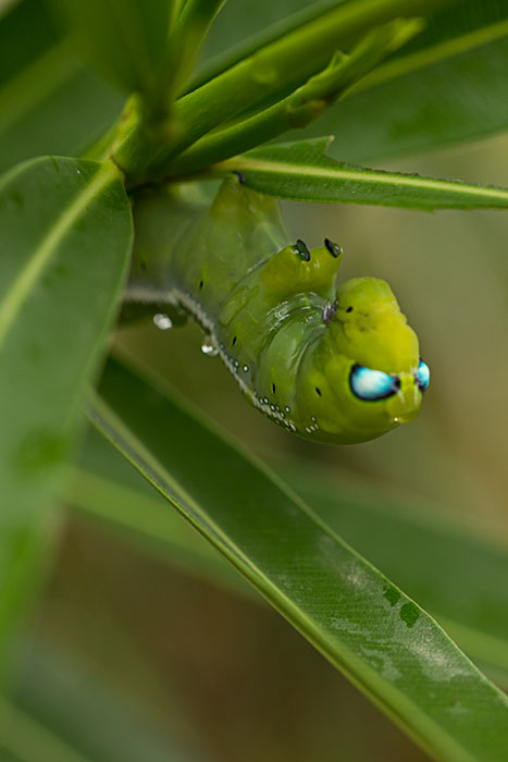 oleander-hawkmoth-caterpillar-head