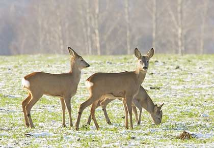 Roe Deer Photo Gallery