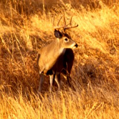Whitetail Deer Shot Placement Diagram How To Draw Home Wiring Selection And On Mule The Frontal Is Too Risky