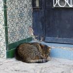 Cat, Morocco, Medina