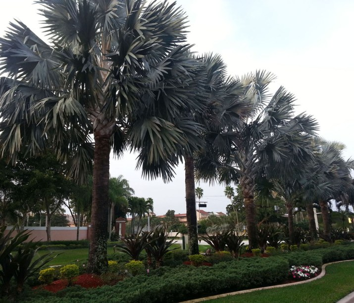 Palm Trees at the Front Gate