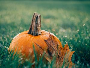 pumpkin with maple leaf leaning on it sitting in grass