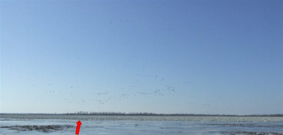 Geese as far as the eye can see. The abnormally cold 2008 spring season stalled the snow goose migration at Mound City. The result was a peak count of 1.4 million snow geese on the refuge.