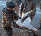 Here is a 11 year old hunter cleaning his first snow goose as his dad watches.