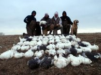 South Dakota snow goose hunt. Fifty-one birds shot this day.
