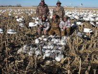 Electronic snow goose calling is effective