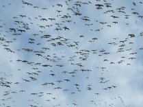 Hunting Snow Geese in South Dakota