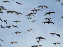 South Dakota Snow Goose Hunting Pictures