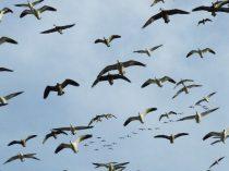 South Dakota hunting in a snow goose decoy spread