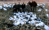 These guys didn't do all that good in the morning. About 3pm until 5pm it was non-stop action ending the day with an even 100 snow geese.