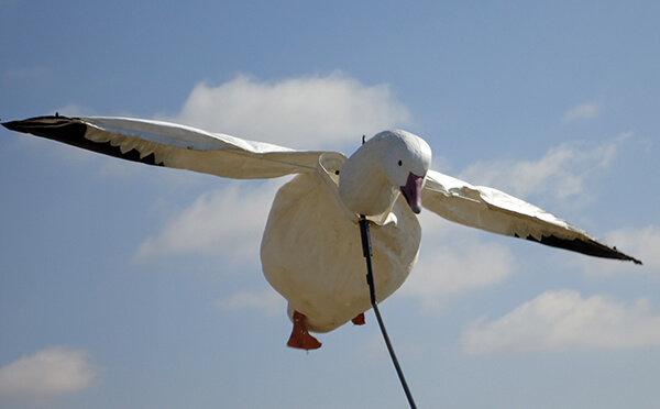 Spring Snow Goose Hunts 2014_021