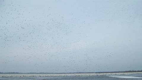 Our hunts are run where there are large number of snow geese.