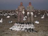 Snow goose pictures