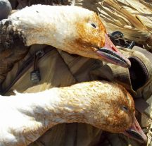 The orange color on the faces of this blue goose and snow goose is from being in an area where the water has high iron content. The iron stains their feathers and they can make beautiful mounted geese.