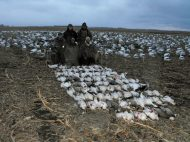 Well above average snow goose hunt. This in another one of the guides hunts in ND in which we harvest 87 birds.