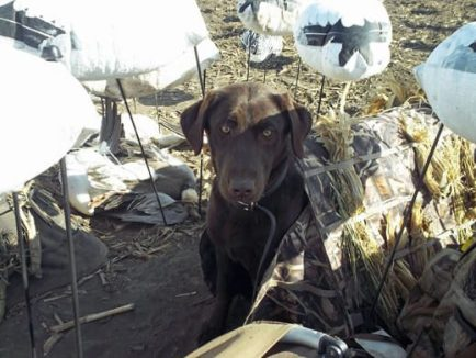 """Kali"" my new lab on her first spring snow goose season. She patiently waits to retrieve snow geese between flocks."