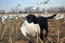 spring-snow-goose-hunt-2013-44