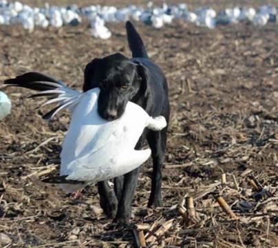 spring-snow-goose-hunt-2013-49