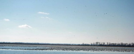 Squaw Creek Refuge loaded up with snow geese in Missouri.