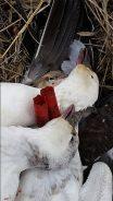 Spring Snow Goose Hunting Www.huntupnorth.com 166