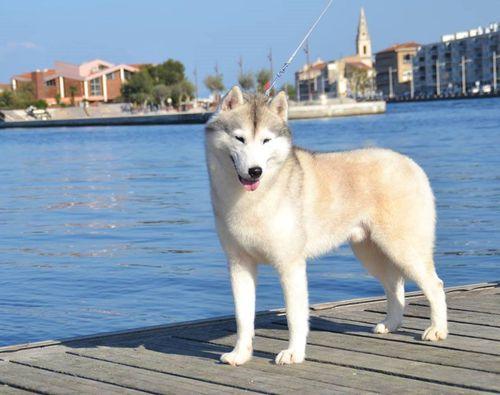 Elevage de husky dans le Var