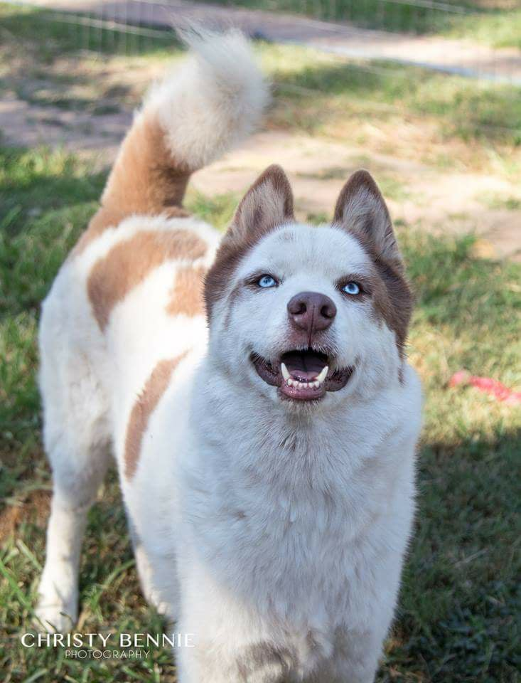 Adopt Demon Husky Rescue South Africa
