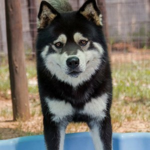 Adopt Hatchi Husky Rescue South Africa