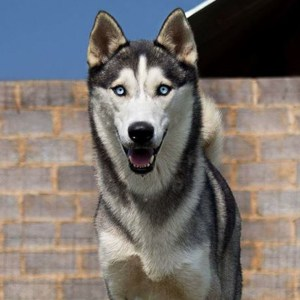 Adopt Uriah Husky Rescue South Africa