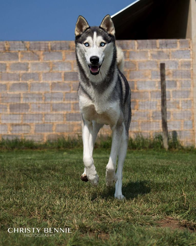 Adopt Uriah Husky Rescue South Africa