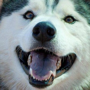 Adopt Loki - Husky Rescue South Africa