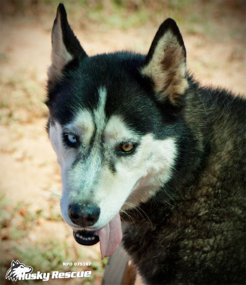 Adopt Madi - Husky Rescue South Africa