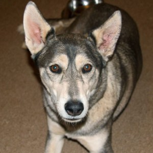 Adopt Myki - Husky Rescue South Africa