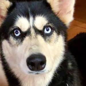 Adopt Saskia - Husky Rescue South Africa