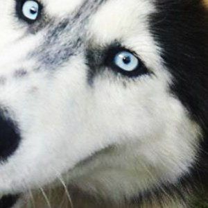 Adopt Patches Husky Rescue South Africa