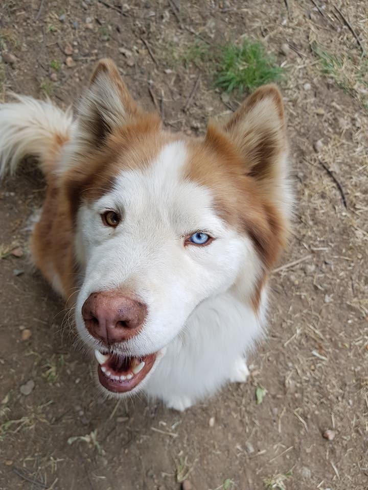 Adopt Raiden - Husky Rescue South Africa