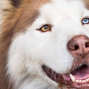 adopt Raiden Husky Rescue South Africa