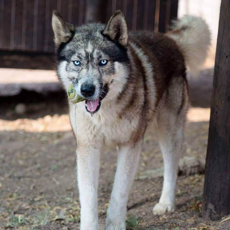 Adopt Zeus Husky Rescue South Africa