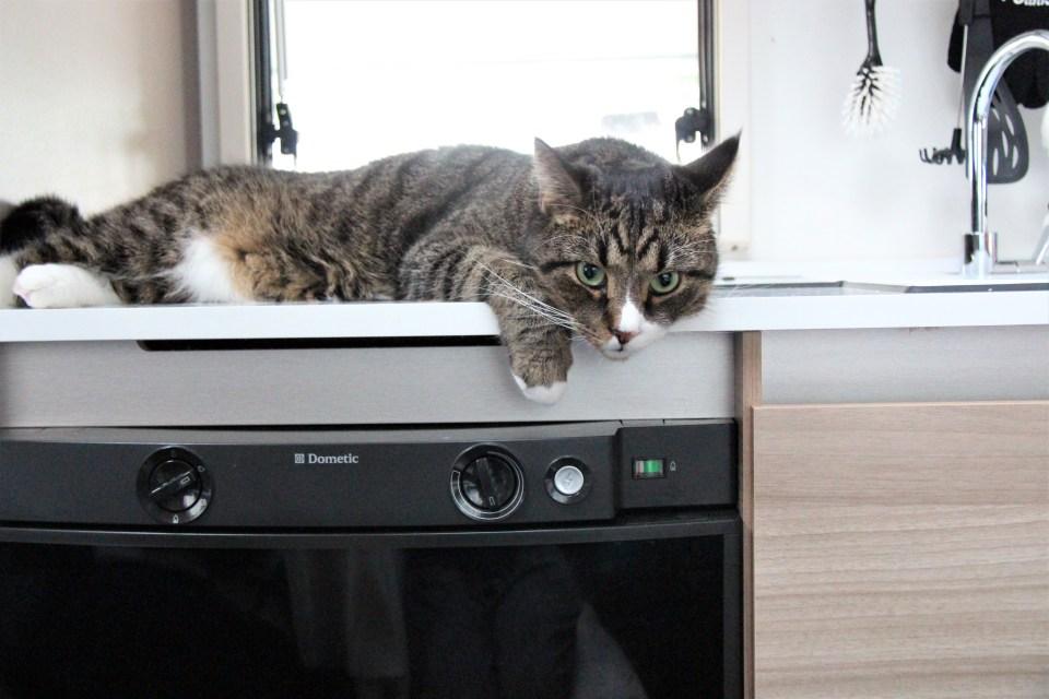 Det går alldeles utmärkt att campa med husdjur. Här ligger Findus och slappar på diskbänken i husvagnen.