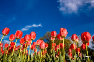 Tulips against the sky