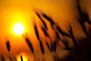 sun shining on field of barley