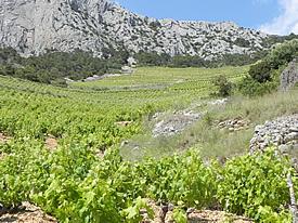 Sveta Nedelja vineyards